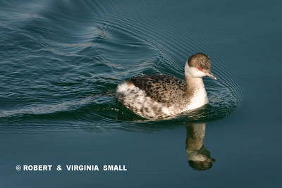 HORNED GREBE IN WINTER PLUMAGE