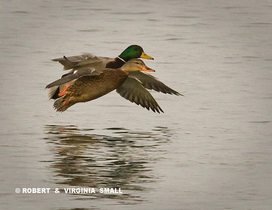 MALLARD PAIR IN SYNCHRONIZED FLIGHT