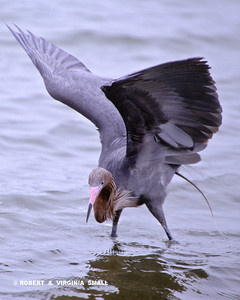 A SHORELINE BALLERINA, THE REDDISH EGRET WATCHING FOR PREY SWIMMING IN THE SHADOW OF ITS WINGS