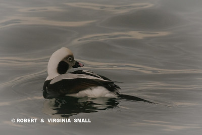 LONGTAILED DUCK (OLD SQUAW)