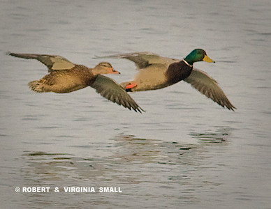 MALLARD DRAKE AND DUCK IN  SYNCHRONIZED FLIGHT
