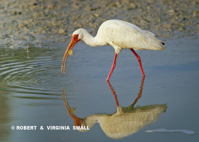 WHITE IBIS FORAGING (Maybe it found a little turtle?)