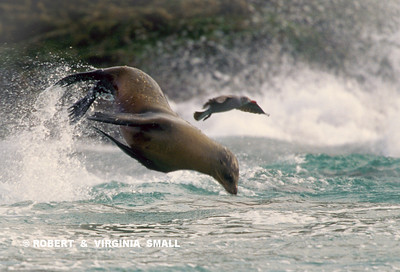 SEA LION AND A GULL - LOOKS LIKE THEY'RE RACING . . .