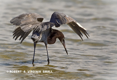 REDDISH EGRET FORAGING (The umbrella of wings creates a shadow on the water making it easier to see prey)