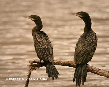 FEATHER DISPLAY - A PAIR OF  NEOTROPIC CORMORANTS