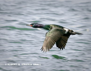PELAGIC CORMORANT IN FLIGHT