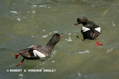 BLACK GUILLEMOTS SPARRING IN SURF