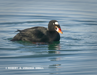 SURF SCOTER - ME?  WHY, I'M JUST SWIMMING . . .