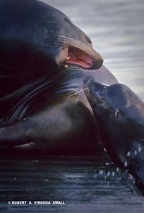 TERRITORIAL DISPUTE BETWEEN SEA LIONS