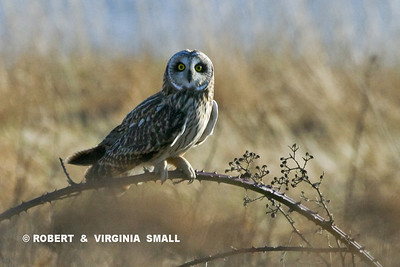 SHORT-EARED OWL (CHECKING US OUT!)