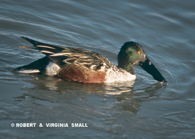 THE VERY IMPRESSIVE SHOVELER DUCK
