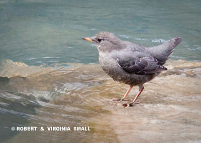 THE AMERICAN DIPPER, delicate in appearance but a strong underwater swimmer when foraging in a rushing, tumbling stream