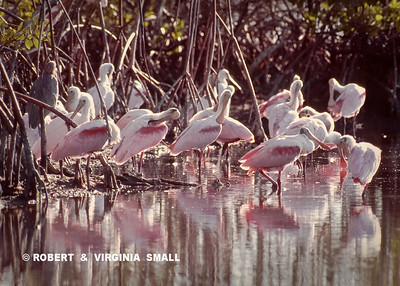 ROSEATE SPOONBILLS  BATHING BY A FOREST OF MANGROVES