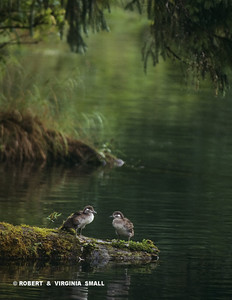 HARLEQUIN DUCKLINGS RESTING AT STREAMSIDE
