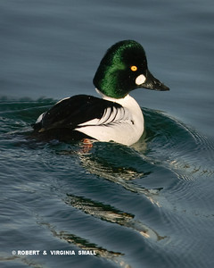 THE ELEGANT COMMON GOLDENEYE DRAKE