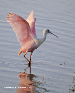 ROSEATE SPOONBILL WING STRETCH