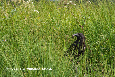 SURPRISED TO SEE THIS NORTHWESTERN CROW FORAGE IN A MARSH AND COME UP WITH - A FROG!