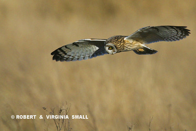 SHORT-EARED OWL ON THE HUNT
