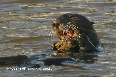 SEA OTTER FEEDING ON MOLLUSK