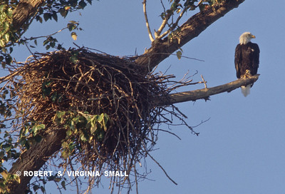 BALD EAGLE PERCHED BY ITS MASSIVE NEST