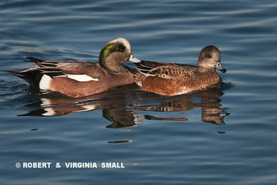 AMERICAN WIGEON DRAKE AND DUCK