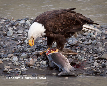 BALD EAGLE WITH COHO SALMON