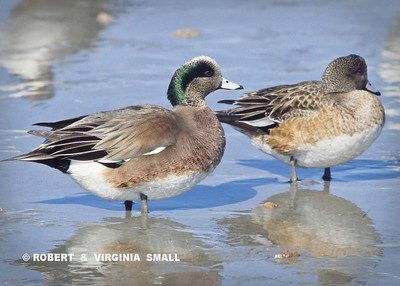 THE IRIDESCENT HELMET DISTINGUISHES THE MALE AMERICAN WIGEON BUT BOTH SHARE THE ORNATE BODY FEATHER PATTERNS