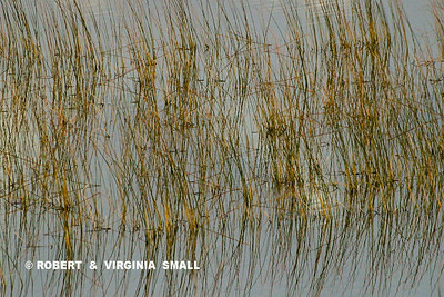 PATTERN OF REEDS ALONG A LAKESHORE