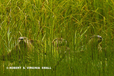 RIVER OTTERS BEHIND A SCREEN OF GRASSES