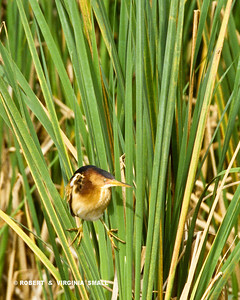LEAST BITTERN CLINGING TO REEDS WITH ITS LARGE TOES