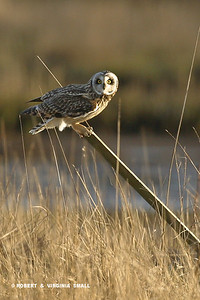 SHORT-EARED OWL ON THE LOOKOUT
