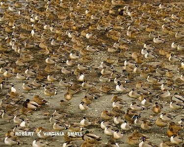 MANY PINTAILS AND A FEW MALLARDS DECORATE THE SHORELINE