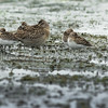 Short-billed Dowitcher and Semipalmated Sandpipers