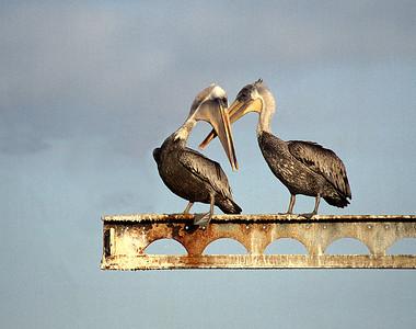 Pelicans gossiping.