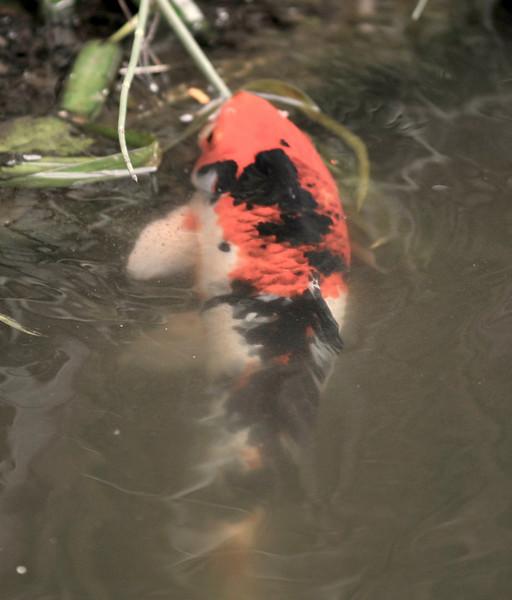 koi in my pond