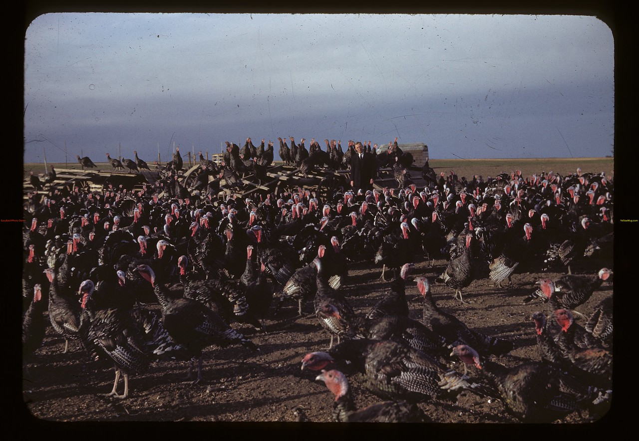 The W. J. Kaltenbruner's 1200 turkeys. 275 hens 30 toms. Last spring sold 3000 poults.  Not tough enough for outdoors til 9 weeks old - wire floors.  Now feeding 90 bushels of barley or wheat daily. Drinkwater. 10/03/1942