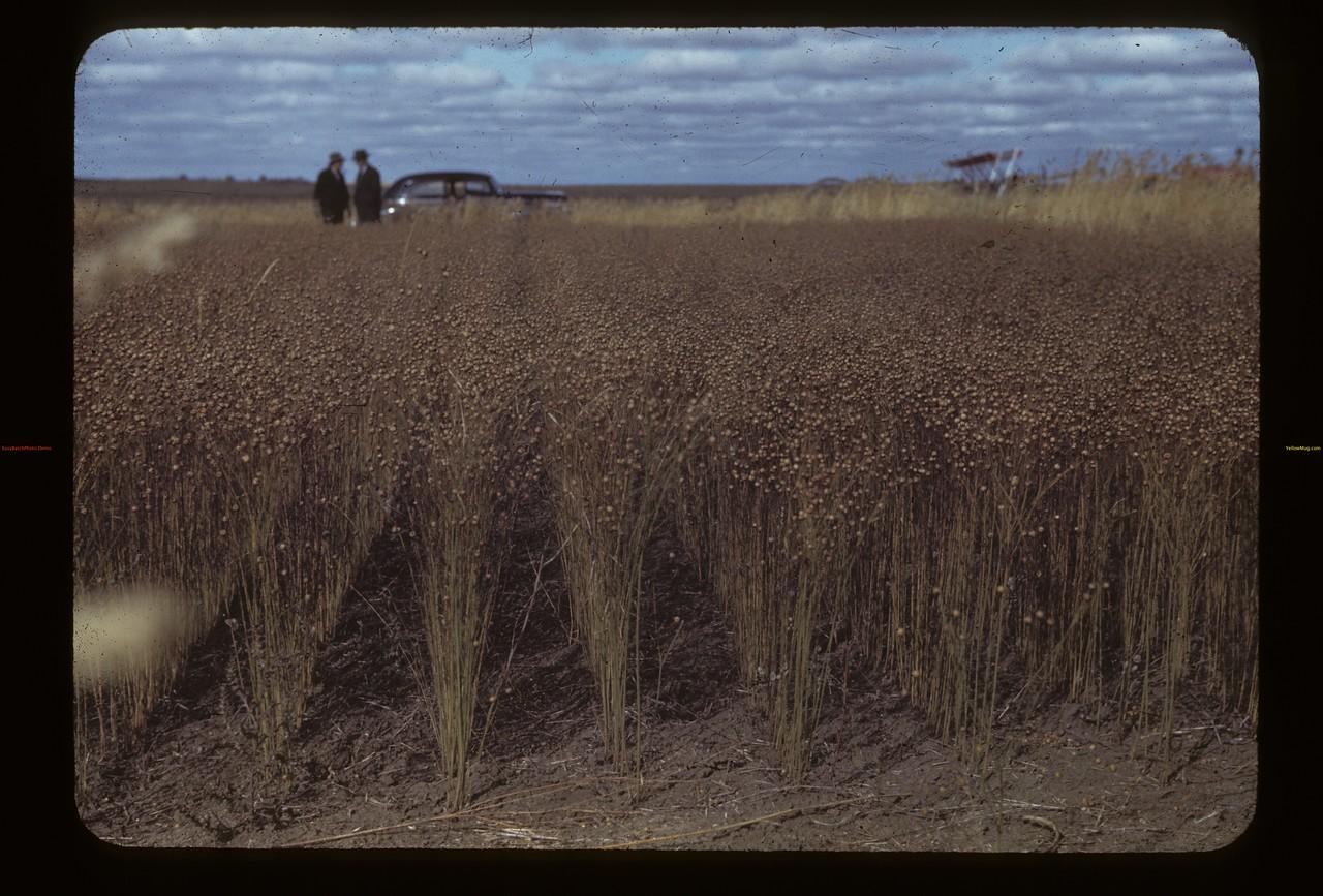 25 varieties in Irvin Bell's flax test plot. Kerrobert.  09/23/1942