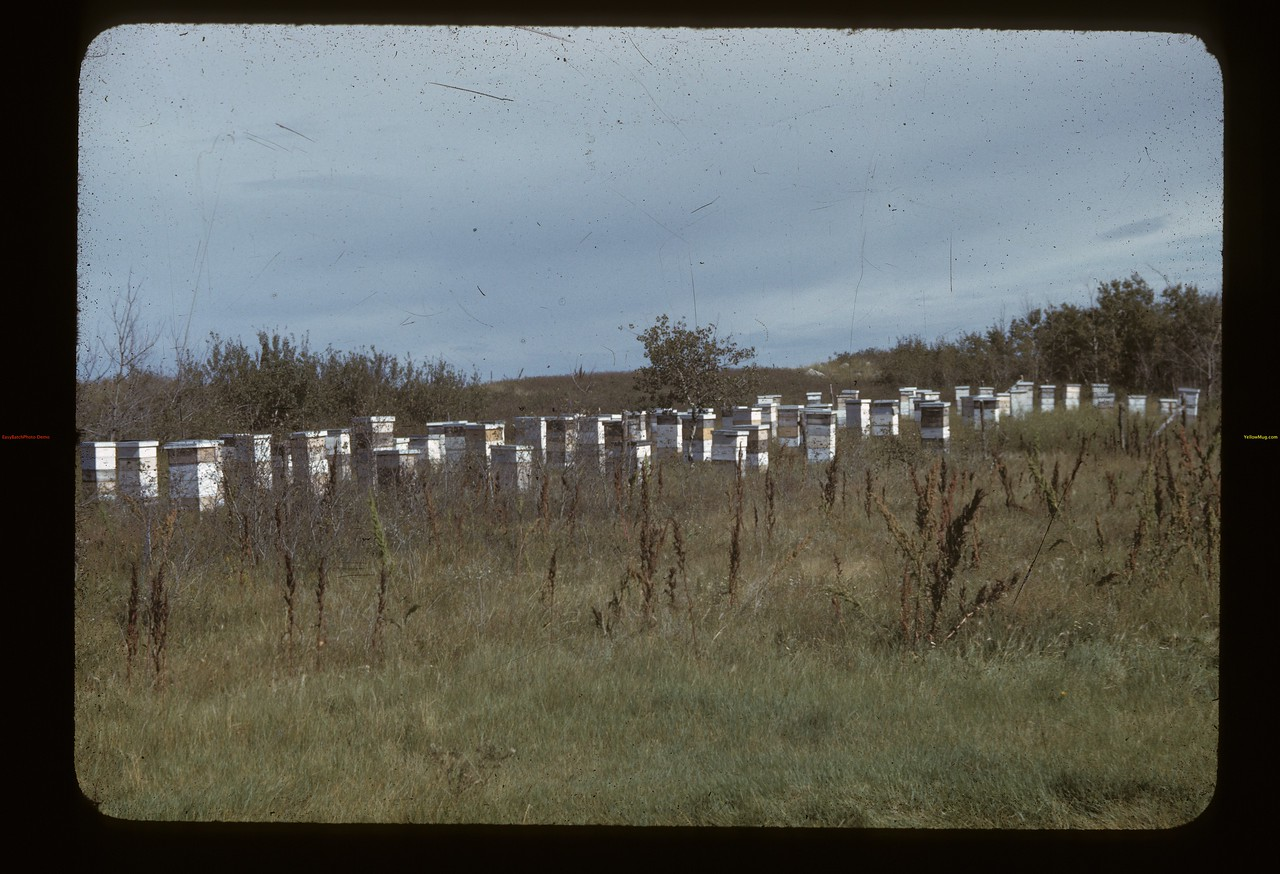 25% of Hand's 400 colonies of bees located between Kelvington and Forget and producing 80000 pounds of honey in 1941. Forget. 09/13/1942