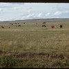 Cattle and caves range near Divide. Divide. 06/15/1953