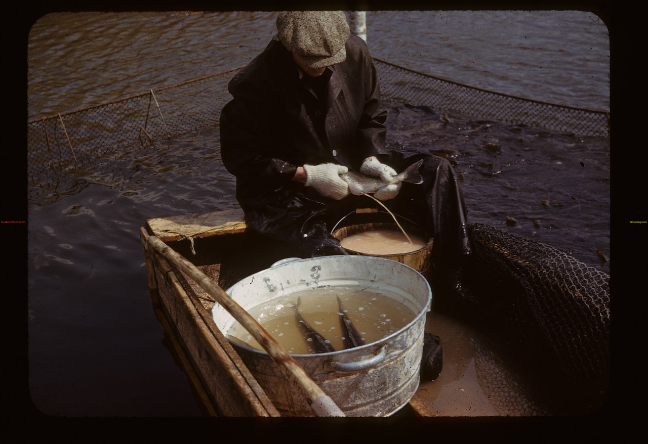 Bill Heno spawning pickerel. Loon Lake.   04/30/1944