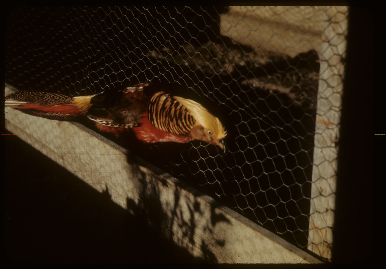 Golden pheasant - Moose Jaw Wild Animal Park. Moose Jaw. 09/06/1942