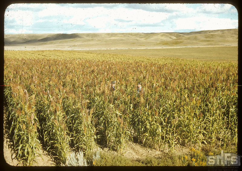 Art Smith's sorghum. [used for the production of molasses] Sask. Landing 09/09/1941