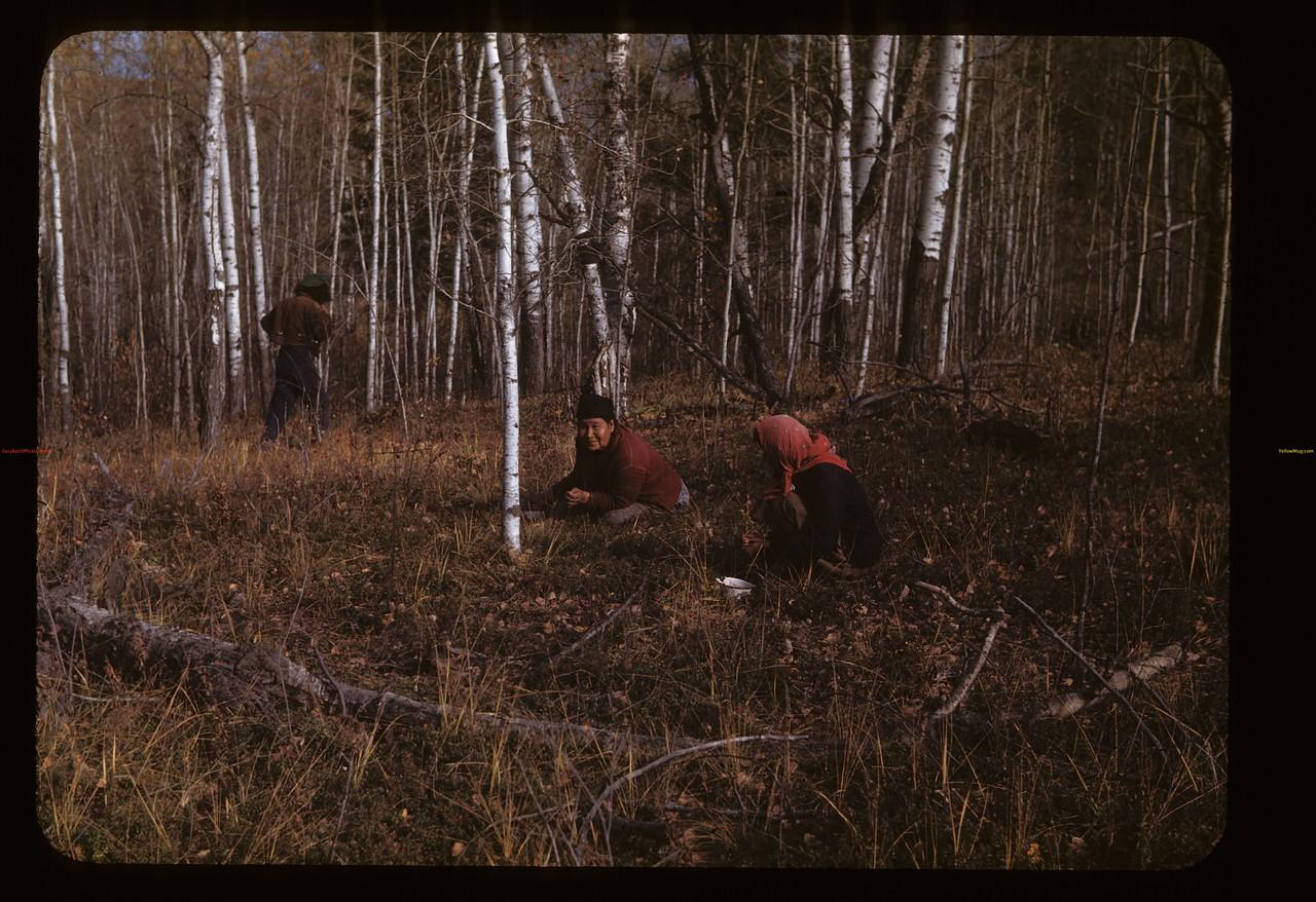 Picking low bush cranberries. Loon Lake.  10/03/1947