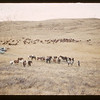 Horse herd 1960 Reserve round-up. Maple Creek. 10/17/1960
