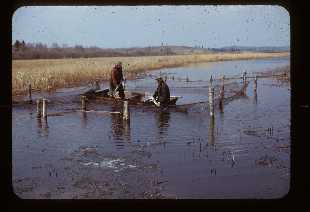 Spawning pickerel. Loon Lake.  04/30/1944