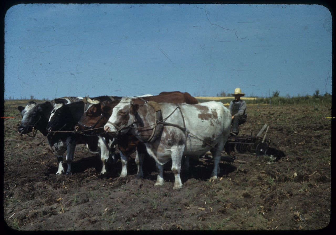 Pokal's oxen.  Hungarian names: Bondi - Yomber - Celoy & Fitzkow - meaning: Valentine - Quiet - Frisky & Rascal. [Mildred is north of Spiritwood]. Mildred. 08/22/1940