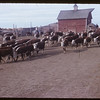 Butula Bros. cattle. Divide. 09/29/1953