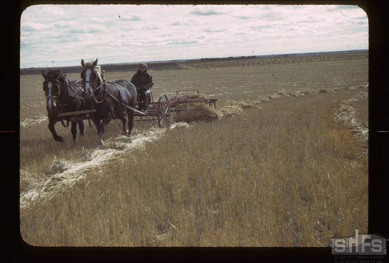 Irvin Bell's side delivery rake on swathed barley. Kerrobert.  09/23/1942