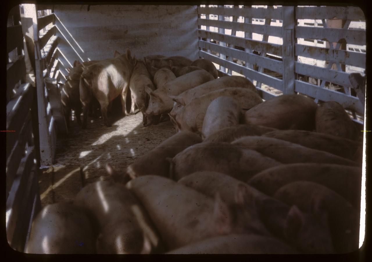 Livestock Pool hogs in railway car. North Battleford. 10/07/1946