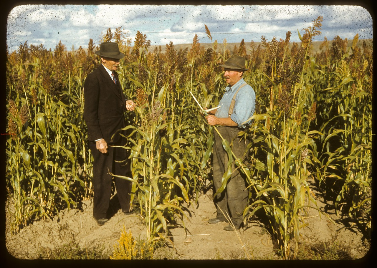 Standing in the sorghum Art Smith and Jas Perkins. Sask Landing 09/09/1941